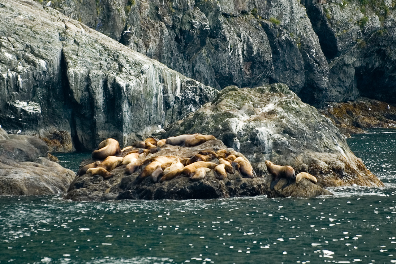 Sea lions in Resurrection Bay.