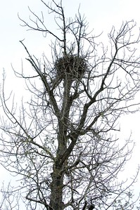 A closer view of the eagle's nest.  There were three baby eaglets in the nest this season, but they disappeared after a brutal hailstorm in June (likely killed by the storm).  Eagles pair up and mate for life.  They fly far away in the winter, but return to the exact same area every summer for mating.