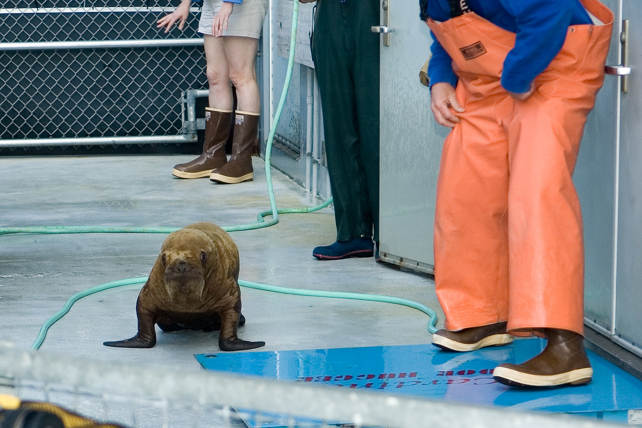 This is a baby walrus that was brought to the marine sanctuary because it had been abandoned by it's mom (or perhaps the mom had died).  The walrus had just been brought in a few weeks before and they'd decided that it couldn't go back to the wild.  So, this was it's last day at this facility and it was on it's way to Sea World in San Diego.   We watched him get packed into a shipping cage.  Maybe we'll go see him sometime at Sea World.
