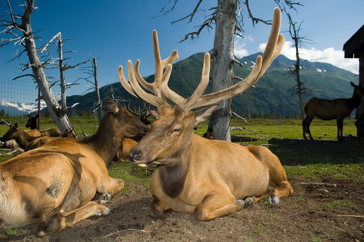 A closeup of the elk.
