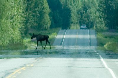 This is a moose we encountered while driving on the motor coach.  This is the mommy moose and it's with a baby (not pictured here).  At some point, the mommy and baby ended up on opposite sides of the road.  This is the mommy getting back on the same side of the road as the baby and then disappearing off into the forest.