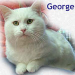 George adopted from CHAC on 2/1/06.  George is a real can-do cat with a comfortable and confident personality. This bold lovable cat is eagerly waiting for you to come meet him. He'll need an indoor only home to protect his light skin from skin cancer.