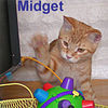 Midget adopted from CHAC on 2/27/06. Midget is a red tabby with a friendly and playful temperament.  He is Morgan's brother and these two were adopted with Festivus. Oh lucky boys!