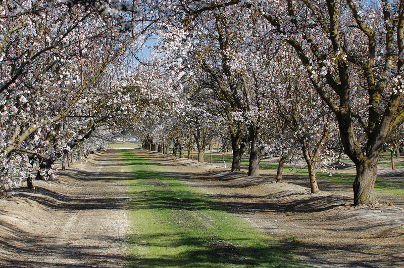 There's nothing like a walk through an Almond Orchard on a nice sunny day; with a cool breeze in the air, the smell of pollen all around, bees buzing overhead, and a nice camera to document your experiance.