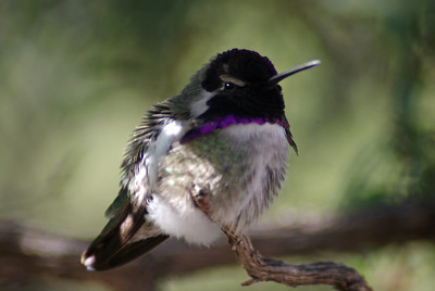 Costa Hummingbird
