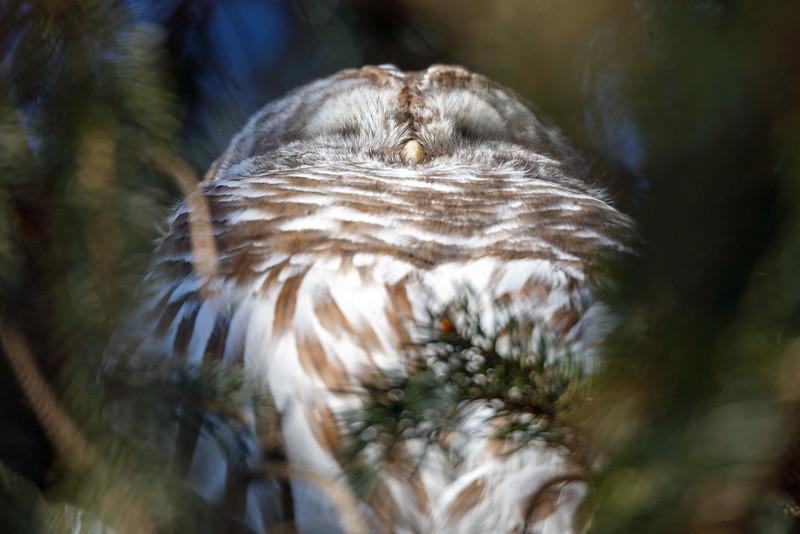 A Barred Owl - February 19, 2020