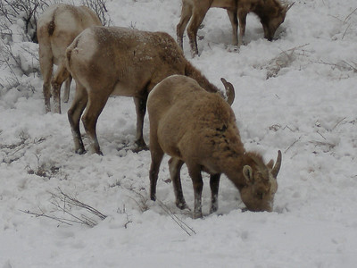 I think they are Big Horn Sheep