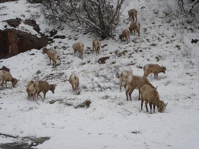 I think big horn sheep