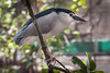 """4th year Pic 327 - Apr - 02 2013. <span style=""""color:yellow"""">Black crowned night heron </span> -  Mumbai Zoo <span style=""""color:cyan"""">Critiques welcome! </span>"""