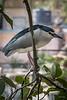 Black crowned night heron, Mumbai Zoo