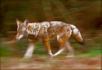 Coyote in Pt. Reyes, California, 2009