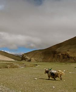 Yak, Western Tibet, 2010