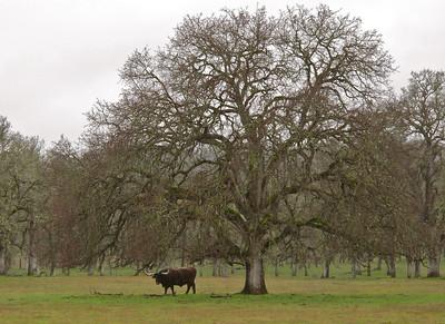 Massive horned bull. Shasta County, California, 2011