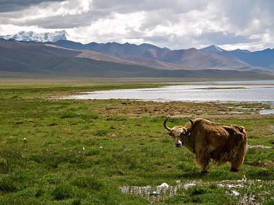 Yak at Nam Tso Lake, Tibet, 2010