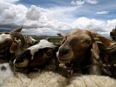 Goats, Tibet, 2010
