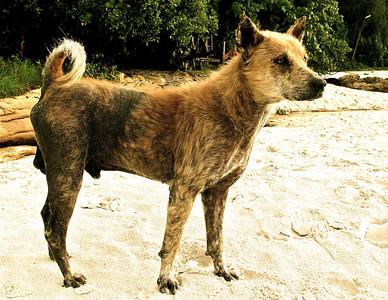 Stray beach dog, Koh Samet, Thailand, 2009