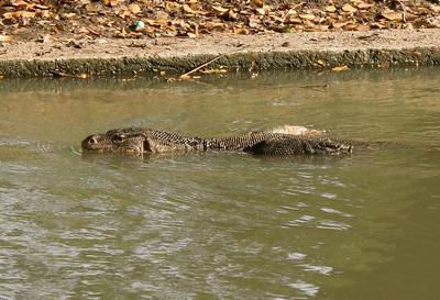 Monitor Lizard, Lumphini Park, Bangkok, Thailand, 2010