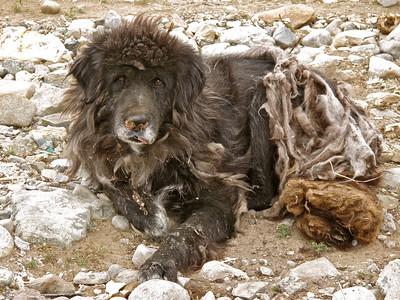 Tibetan Mastiff near Mt. Kailash, Tibet, 2010