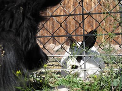 Dog eying bunny, McCoy, Colorado, 2009