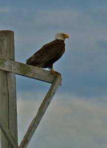 Bald Eagle outside Bellingham, Washington, 2009