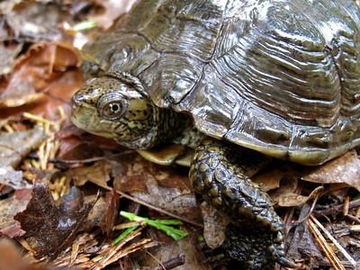 Turtle, Mt. Shasta, California, 2010