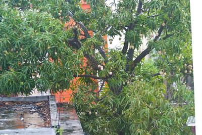 huge mango tree