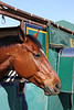 An Isola horse in his stall