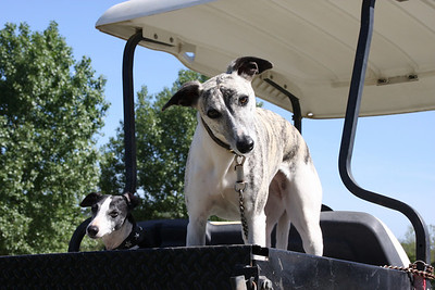 Whippets in a go-cart.