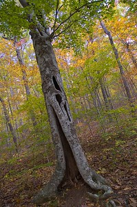 Hollow tree on the trail to Hawksbill Crag.  Buffalo National River