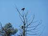 Bald eagles, just down the street.