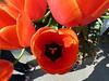 Tulip Town, Mount Vernon, WA