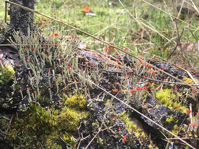British Soldier Lichen (for reals!)