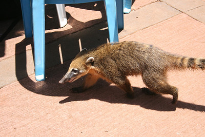 Coati, related to racoon and a serious scavenger in the Park
