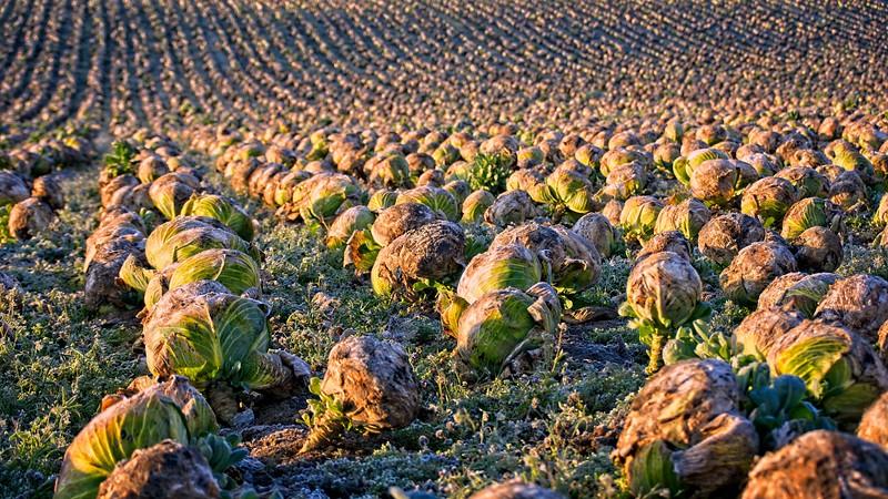 Cabbages at Sunrise