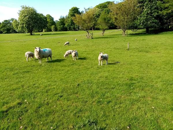 Warton Sheep!