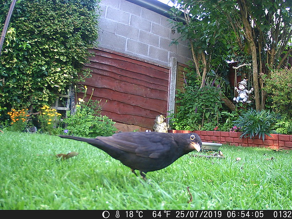 2019/07/24: A very inquisitive Blackbird captured on Dad's game camera.