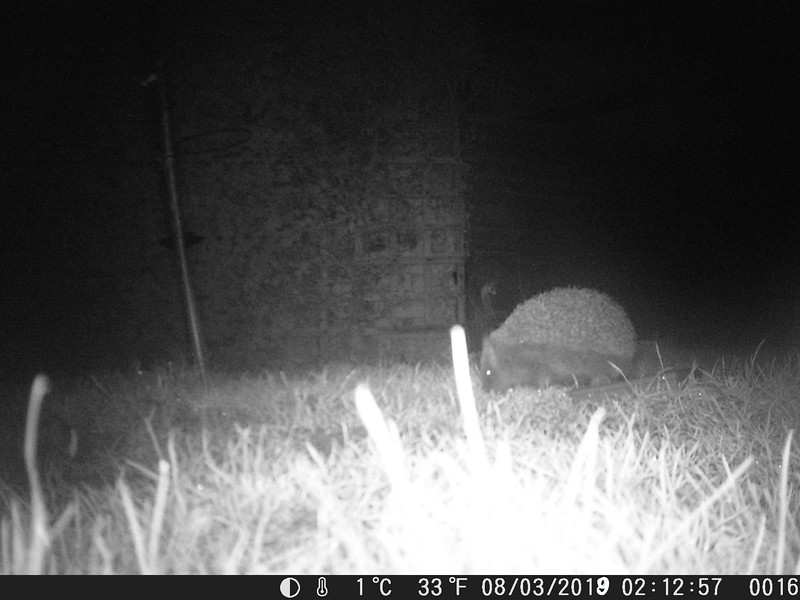 Hedgehogs are back!