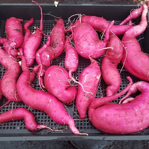 Japanese Sweet Potatoe Harvest