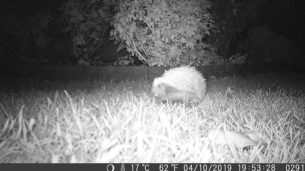 October 4th & the Hedgehogs are still about! Fattening up for winter. © George Meacham.