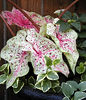 Closeup of Miss Muffet Caladium<br /> I like this gal so much I'm going to dig up the bulb and save it for next season!<br /> June 2007