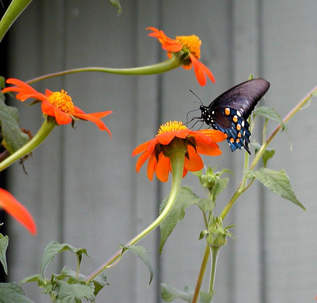 Pipevine Swallowtail on thithonica.
