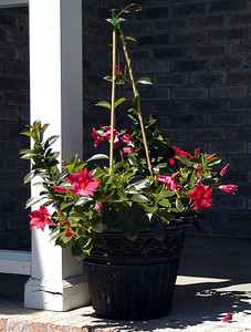 Crimson Mandevilla on the front stomp. That will grow up the porch as Summer progresses.