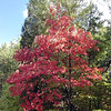 Flaming red sourwood tree. Sourwood is one of the first trees to turn colors.