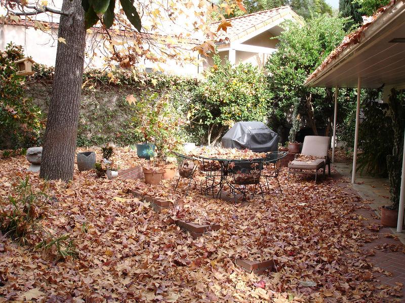 Liquid Amber leaves, fall 2005.