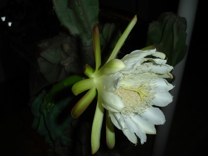 Our Senita Cactus in bloom. October 30, 2007