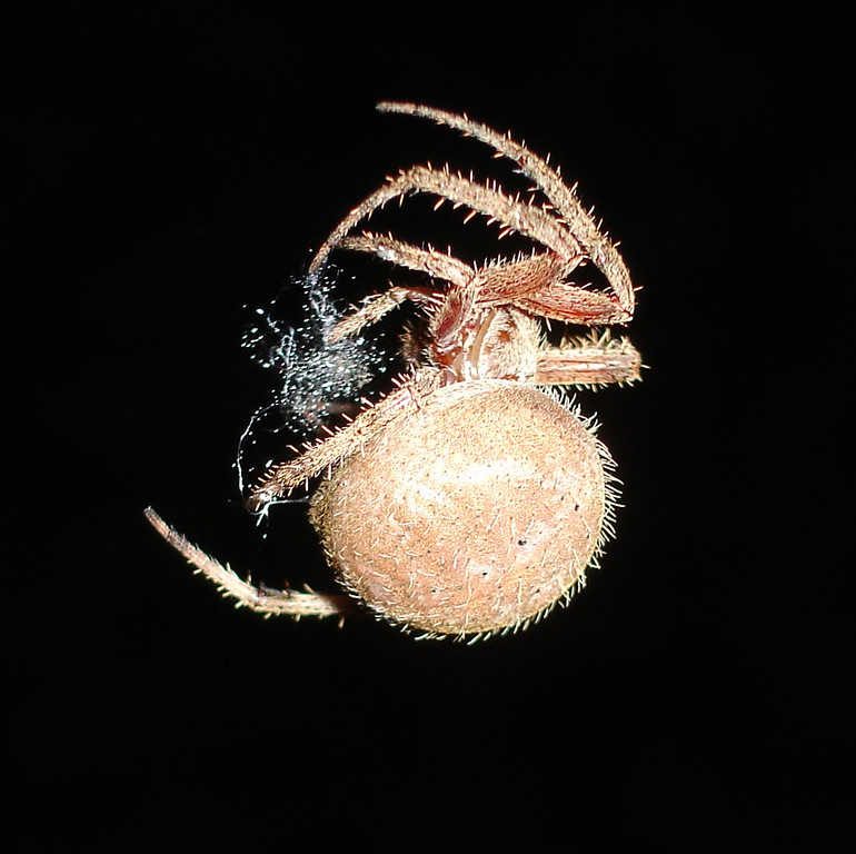 Chelsea photographed this orb-weaver garden spider in our back yard taking down its web.