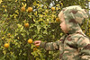 Gray picking ornamental lemons