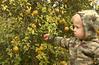 Gray picking ornamental lemons