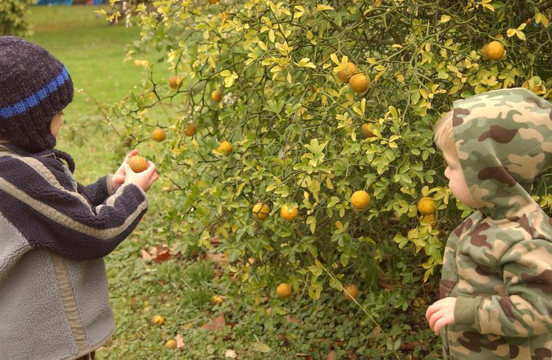Logan & Gray picking ornamental lemons