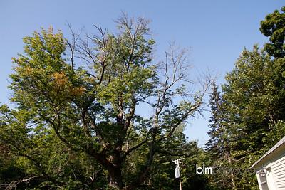 Windy-Row-Treeworks_Ash_Tree_Hancock-9120_09-04-14 - ©BLM Photography 2014